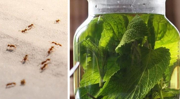Formiche in casa? Prova il macerato di menta e altri rimedi naturali per allontanarle