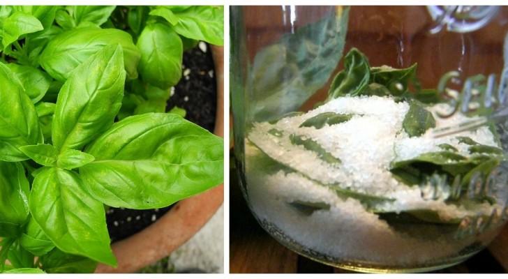 Vuoi conservare il basilico per tutto l'inverno? Usa l'antico rimedio del sale