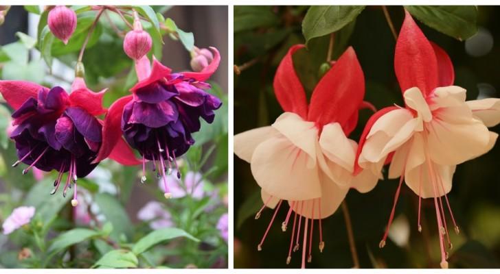 Plantes de fuchsia : découvrez comment les cultiver et les entretenir de la meilleure façon