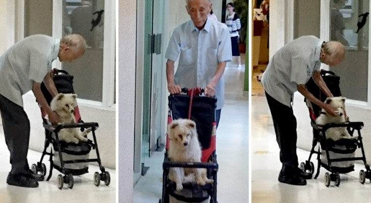 An old man takes his old dog to the vet carrying him in a stroller