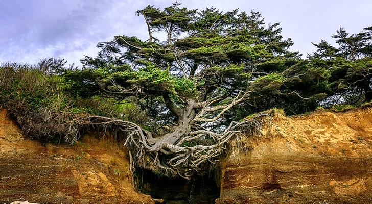 Questo affascinante albero è sospeso nel vuoto e continua a reggersi in equilibrio sulle radici