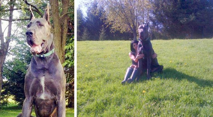 He's one of the largest Great Danes in the world but he is afraid of small dogs: He wouldn't hurt a fly