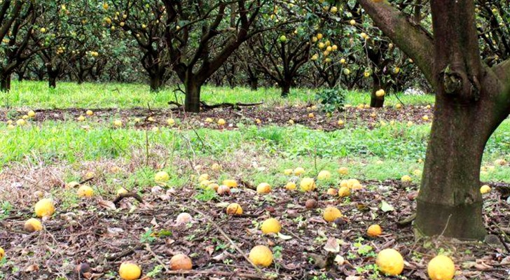 Farmer can't find workers willing to harvest his fruit and loses a $50 million crop