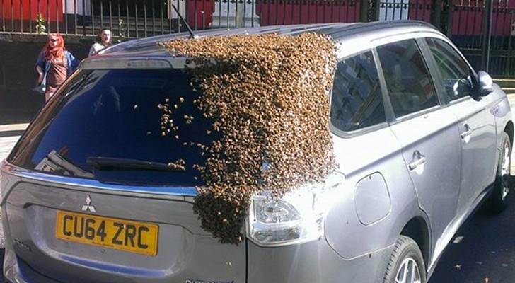 Een kolossale zwerm van 20.000 bijen volgt een auto gedurende 2 dagen: ze moesten de koningin redden