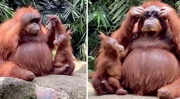 Mamá orangután agarra los anteojos de sol de una turista y los usa frente a su cachorro