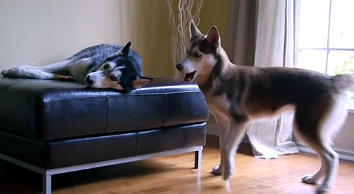 Als je deze twee honden hoort praten, zou je bijna denken dat mensen zijn!