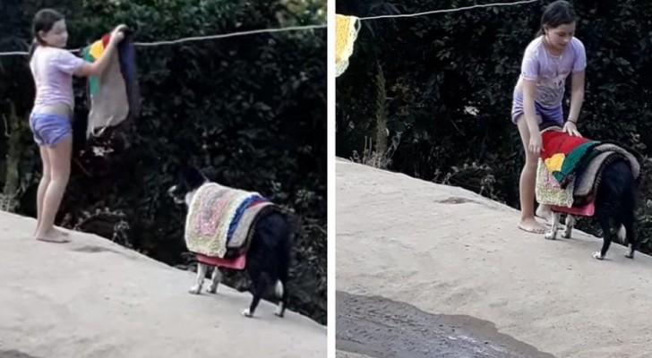 Une petite fille demande à son petit chien de l'aider à ramasser le linge : sa mère parvient à filmer cette drôle de scène