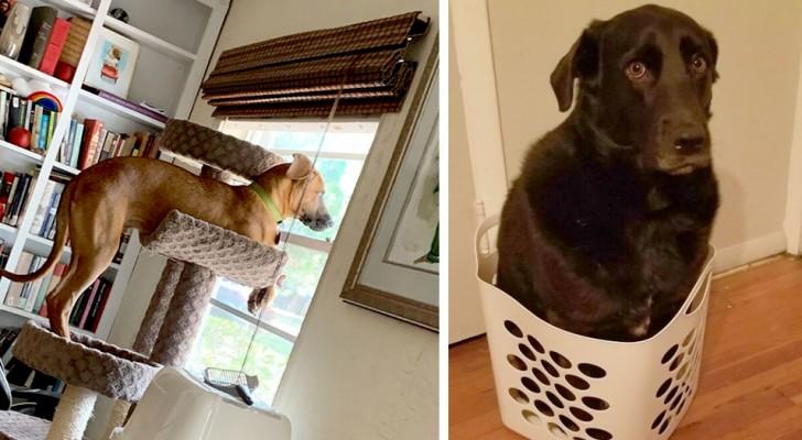 """16 lustige Hunde, die eine """"Identitätskrise"""" hatten und jetzt denken, sie wären Katzen"""