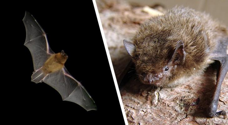Un pipistrello vola per oltre 2.000 km da Londra alla Russia: la straordinaria impresa di questo