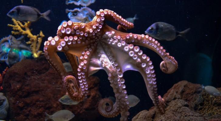 """Vrouwtjes-octopussen gooien voorwerpen naar mannetjes die ongewenste """"avances"""" maken"""