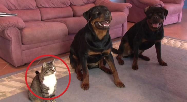 A educação dos dois cães é surpreendente, mas o terceiro participante é espetacular!