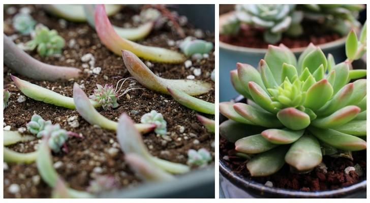 Fai nascere tante nuove piantine dalle tue succulente: è facile e divertente