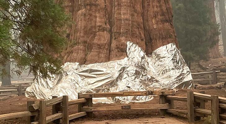 L'albero più grande del mondo è minacciato dal fuoco: i pompieri lo avvolgono in coperte ignifughe