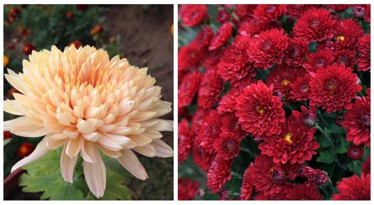 Crisantemi: scopri come coltivare questi fiori bellissimi che sbocciano in autunno