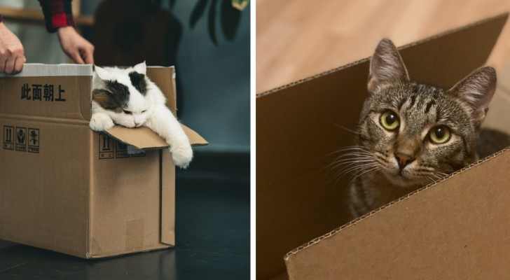 Perché i gatti amano così tanto le scatole di cartone? Gli scienziati hanno cercato una risposta