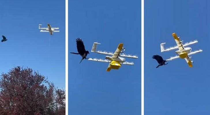 Ein Mann filmt eine Krähe, die Google-Drohne bei der Essensauslieferung angreift