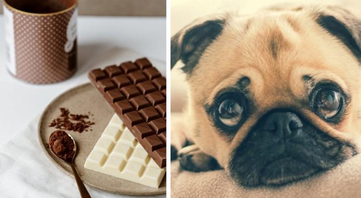 Perché la cioccolata è un vero e proprio veleno per i cani e cosa fare quando ne ingeriscono un po'