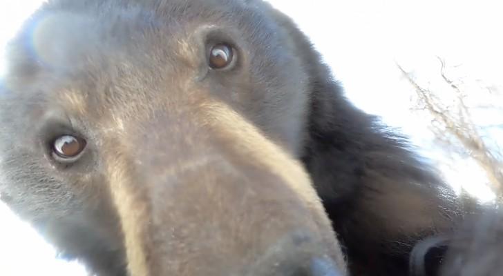 Ein riesiger Schwarzbär findet eine GoPro im Wald und schaltet sie ein - das Video ist urkomisch