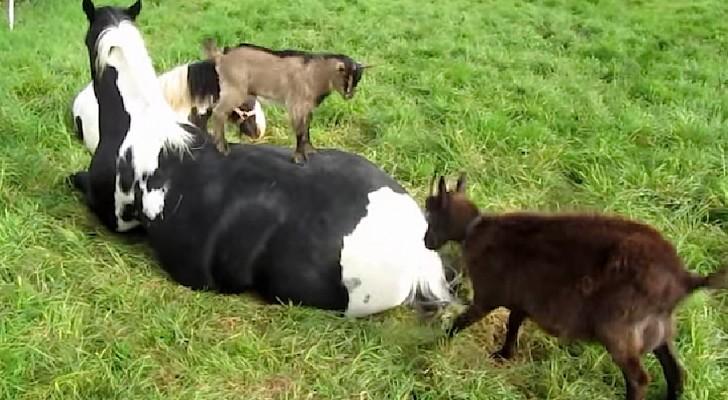 Een paard probeert op het gazon uit te rusten, de reactie van de geiten is hilarisch