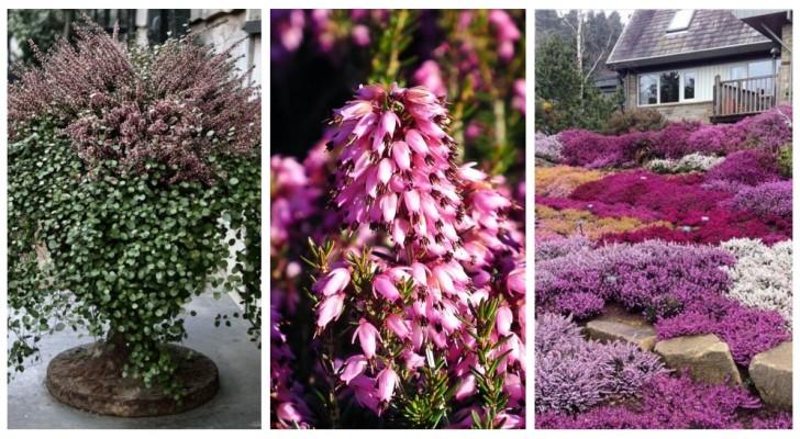 Plantez la bruyère en automne pour avoir une très belle floraison et raviver le jardin pendant l'hiver