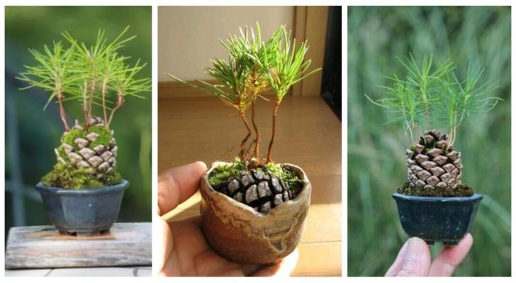 Pini in miniatura: fai germogliare una pigna per una decorazione adorabile