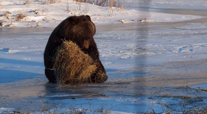 A bear runs into a hay bale: what happens shortly after is ADORABLE !