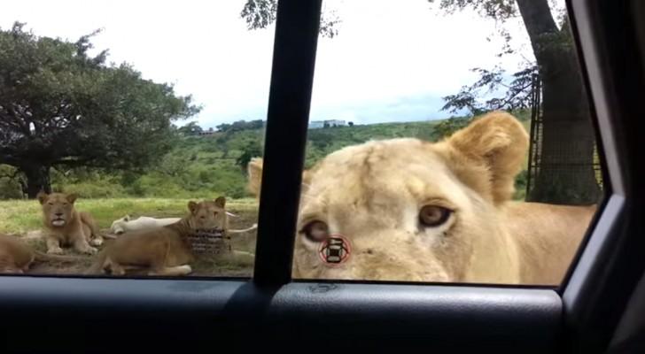 Ze kijken op hun gemak naar de leeuwen, totdat er iets gebeurt dat je de stuipen op het lijf zal doen jagen!