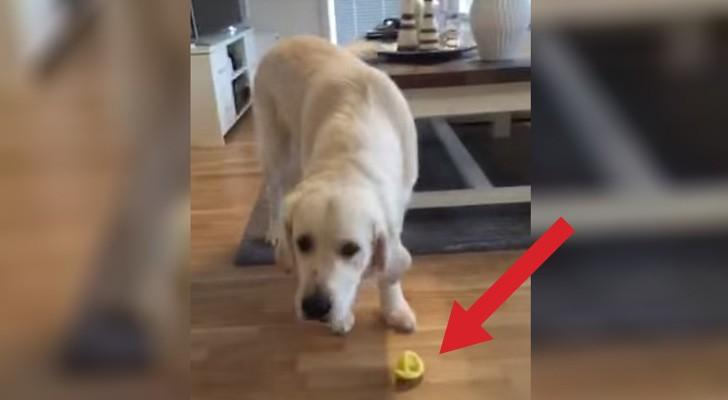 Un perro prueba por equivocacion un limon. Su reaccion es de morir de la risa