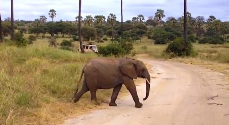 Twee olifanten steken de straat over, maar er is een derde verrassing op komst!
