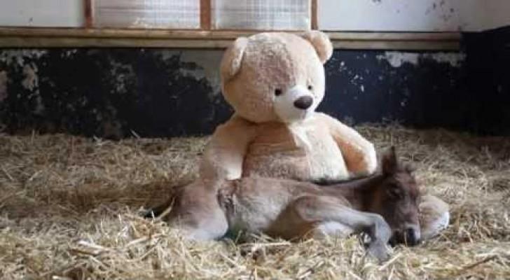 Pony orfano dorme con orsetto