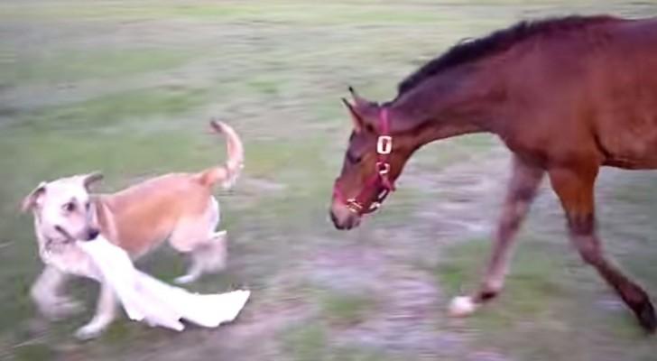 Een hond grijpt een doek, kijk naar de reactie van het paard... Schitterend !!!