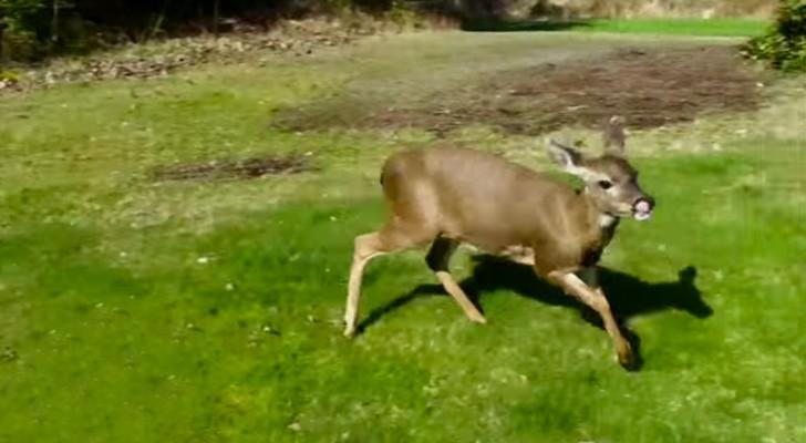 Jedes Jahr kommt dieser Hirsch aus dem Wald und nähert sich den Häusern: Der Grund ist ganz besonders