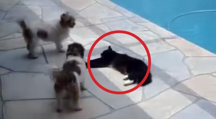 Dois cães incomodam um gato... mas ele não vai deixar por isso mesmo...