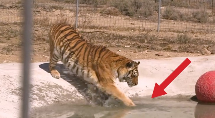 2 tigres sont sauvés et touchent l'eau pour la première fois: la réaction est géniale!