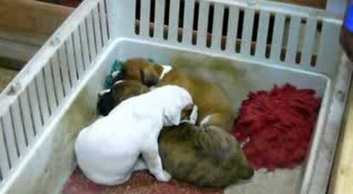 He sings a lullaby to the puppies!