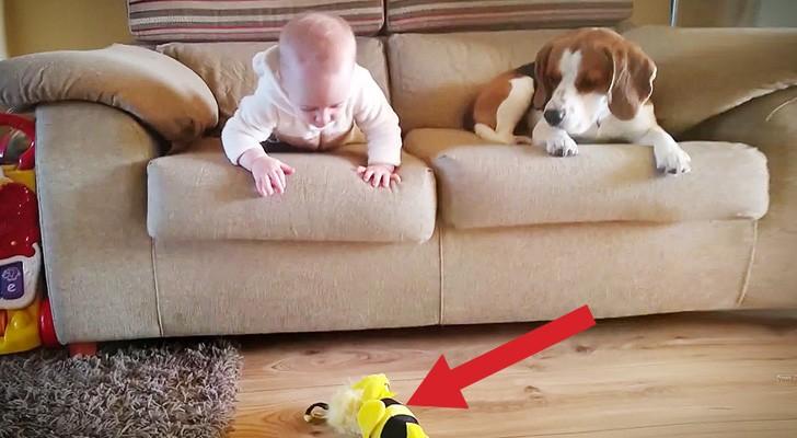 Het kind laat haar speelgoed vallen: de reactie van de hond is onbetaalbaar
