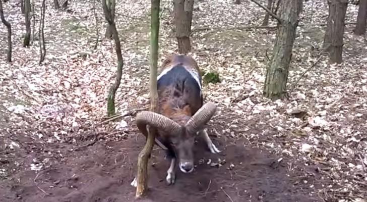 Um animal selvagem está em perigo, mas tem alguém que aparece para ajudá-lo