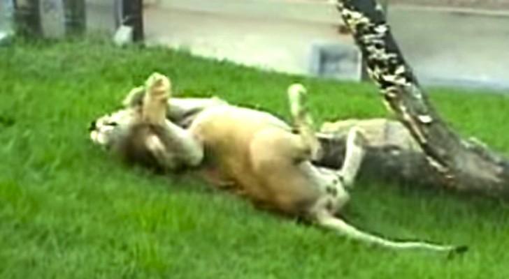 Deze leeuw heeft 13 JAAR achter tralies doorgebracht en komt voor het eerst in aanraking met gras...