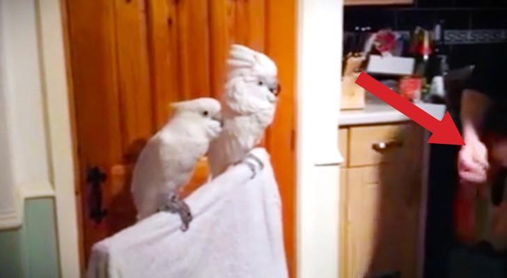 Inizia a suonare una canzone di Elvis: la reazione dei pappagalli è incredibile!