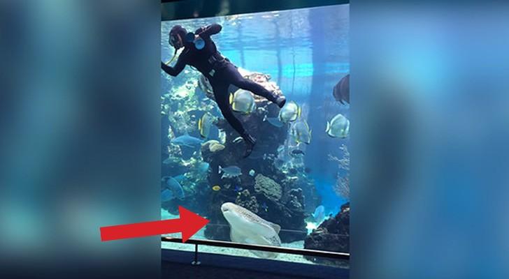Han skulle rengöra akvariet, då blev han istället uppbjuden för en dans av zebra hajen!