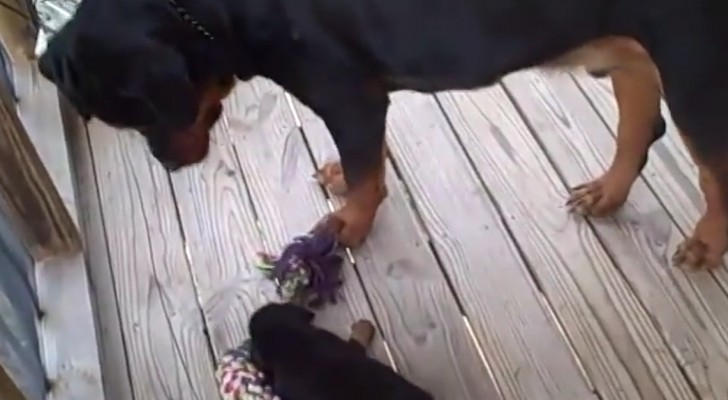 His mother challenges him at tug of war, but his behavior will amaze her !