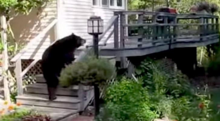 Um grande urso está subindo na varanda, mas a reação da vovó é fenomenal!