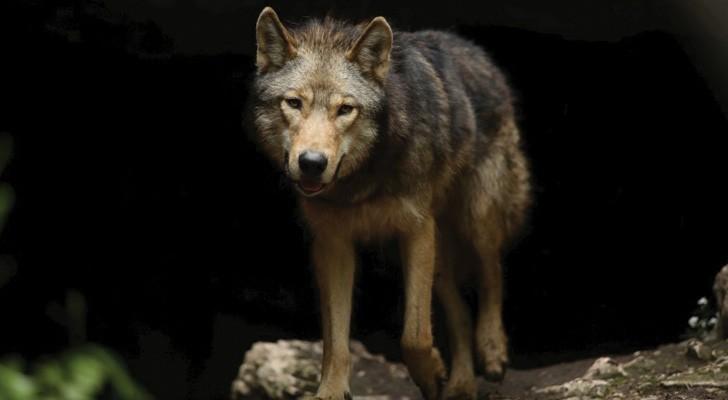 Questo lupo esce dalla sua tana e vi accompagna in un viaggio che NON dimenticherete