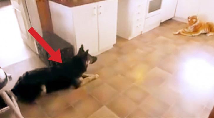 Colocan un tigre de peluche en la cocina... Cuando el perro lo ve, su reacción es hilarante