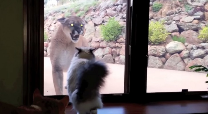 A mountain lion approaches this family's house: the reaction of the cat is priceless