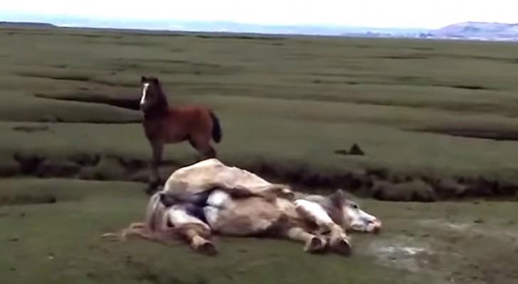 På långt håll ser de en häst som har det svårt... det som dem gör kommer att rädda hästens liv