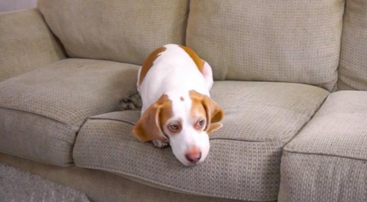Un cane è annoiato sul divano, ma il suo padrone sta per fargli una SORPRESA... Wow!