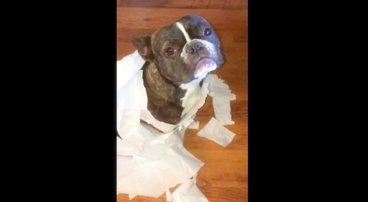 She asks her two dogs who made this mess, and one of them does this...