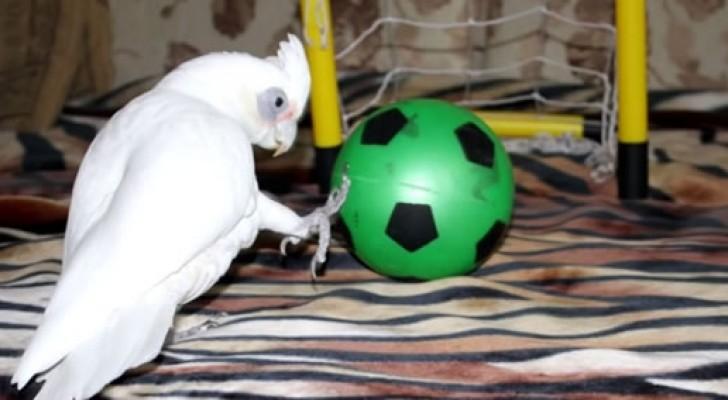 Un papagallo con la pasion por el FUTBOL: la combinacion es delirante