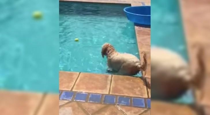 Il a perdu la baballe dans la piscine, sa façon de la récupérer va vous surprendre!